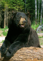 Black Bear Program